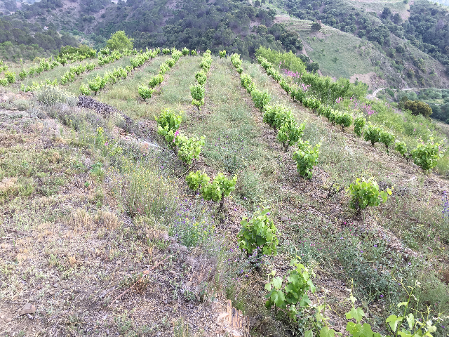 Steep vineyard Finca Les Closes